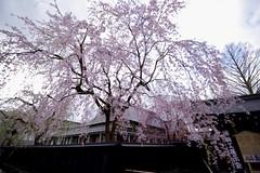 Weeping Cherry in the Samurai Street (tez-guitar) Tags: cherryblossom cherry weeping tree akita kakunodate spring flower street pentax pentaxart