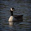 Canadian Beauty (MrBlueSky*) Tags: canadagoose goose animal nature outdoor water colour waterfowl kewgardens royalbotanicgardens london pentax pentaxart pentaxlife pentaxk1 pentaxawards pentaxflickraward
