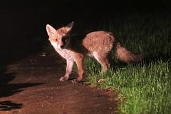little rascals in my yard ;) (Sue Elderberry) Tags: fox foxcub foxkit foxpuppy cityfox urbanfox urbanwildlife nature animal night fuchs fuchswelpe stadfuchs