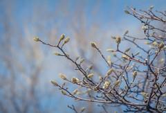 tout bleu / New season (cébé céline) Tags: ciel bleu arbre saison printemps magnolia bourgeons avril montréal sky blue tree season spring buds april montreal cébécéline