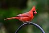 Male Northern Cardinal (deanrr) Tags: male northerncardinal cardinal red redbird bokeh spring 2018 morgancountyalabama outdoor nature alabamanature bird springtime