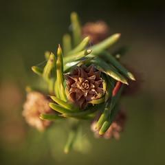 Young fir-cones / Юные шишки (dmilokt) Tags: ель растение plant природа nature зеленый green dmilokt beginnerdigitalphotographychallengewinner