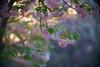 Pink sunset (gwuphd) Tags: zeiss kipronar 140mm f19 diy diylens bokeh projectionlens kwanzan cherrytree flowers