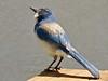 Jake Checking the Overhead (morroelsie) Tags: scrubjay jays jackthescrubjay yardbird backyardsights morroelsie