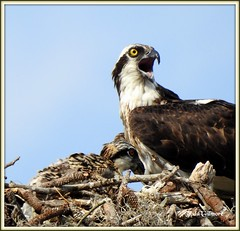 Osprey in Nest (todd5524) Tags: osprey birds nature amazing outdoors wild life photography photoshop nikon coolpix sky nest nesting chicks chick young