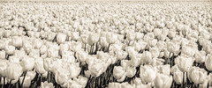 Netherlands Tulip Field (Michael Shoop) Tags: michaelshoop thenetherlands netherlands lisse tulips blackandwhite bw bulbfields canon7dmarkii holland flowers flower