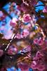 ILCE-7M2-09373-20180509-1808 // Canon FD 50mm 1:1.4 (Otattemita) Tags: 50mmf14 canonfd canonfd50mmf14 canonfdn canonnewfd canonnfd florafauna fauna flora flower nature plant wildlife canonfd50mm114 sony sonyilce7m2 ilce7m2 50mm cnaturalbnatural ota