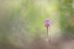Orchis Simia (Thomas Vanderheyden) Tags: orchissimia singe orchidee nature naturesfinest ngc beautifulearth bokeh vegetal flore flora fleur flower fleursauvage beauty fujifilm xt1 samyang135mm thomasvanderheyden colors couleur macro proxi
