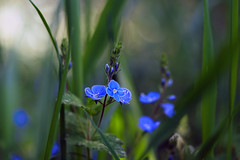 Natural Beauty (#4# 2018) (ej - light spectrum) Tags: blue blau blumen flowers nature natur bokeh wiese meadow april 2018 olympus omd em5markii mzuiko macro makro switzerland schweiz suisse wildflowers pflanze spring springtime frühling frühlingszeit blume