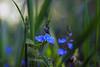 Natural Beauty (#4# 2018) (ej - light spectrum) Tags: blue blau blumen flowers nature natur bokeh wiese meadow april 2018 olympus omd em5markii mzuiko macro makro switzerland schweiz suisse wildflowers pflanze spring springtime frühling frühlingszeit blume