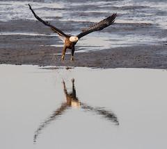 bald eagle (marianna_a.) Tags: bombayhook wildlife refuge delaware usa birds fishing evening fauna mariannaarmata
