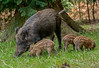 JWL8100 Wild Boar... (jefflack Wildlife&Nature) Tags: wildboar boar boars sow pigs piglets humbugs animal animals wildlife woodlands forest hedgerows woods woodland forestofdean countryside nature