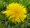 Dandy Lion (Cornishcarolin. Stupid busy!! xx) Tags: cornwall penryn flowers weeds plants nature
