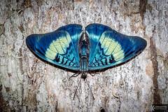 Panacea prola (Dreamtime Nature Photography) Tags: panaceaprola butterfly papillon lepidoptera mariposa canon tambopata peru pérou riomadrededios insecte insecta insecto wildlife macro dreamtimenaturephotography nature