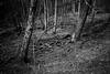 P1090810-Edit (vargandras) Tags: tree root bnw blackandwhite monochrome bw forest dry mft