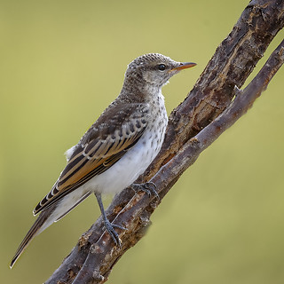 a juvenile white-winged triller