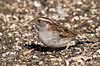 White-throated Sparrow Foraging for Seeds (ksblack99) Tags: waterloostaterecreationarea grasslake michigan whitethroatedsparrow bird zonotrichiaalbicollis