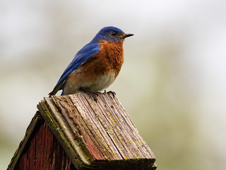 Male Eastern Bluebird ( Sialia sialis )