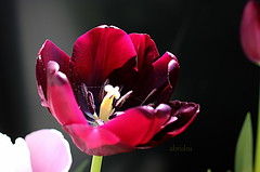 Tulip (abrideu) Tags: abrideu canoneos100d tulip red macro depthoffield bright onmybalcony outdoor flower ngc
