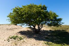 IMG_6081-2.jpg (Leo Kramp) Tags: 2018 flickr dunes amsterdamsewaterleidingduinen accessoires loweproflipside300awii duinen wandelen noordwijk zuidholland nederland nl leo kramp leokramp wwwleokrampfotografienl leokrampfotografie
