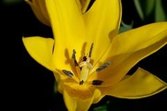 Flower bug (Carandoom) Tags: closeup geneva garden botanic yellow bug flower