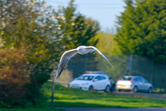 Seagull at Barshaw Park