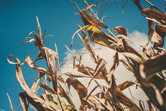 Cornfield Crusade 2018 (michaels.jeff) Tags: nz newzealand nzphotography auckland cornfield spookers maze easteregghunt sky