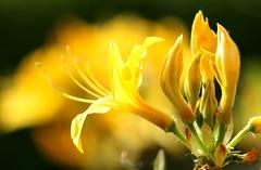 A Dose of Sunshine (acwills2014) Tags: yellow sunshine azalea scented fragrance intoxicated