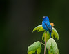 Indigo Bunting (Brian_Harris_Photography) Tags: indigo bunting blue green black trees male pennsylvania gamelands wildlife game hiking lens nikon nikkor nature river refuge migration water exposure sunlight sunshine swamp bird