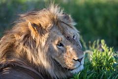 Life can be tough (Ring a Ding Ding) Tags: 2018 africa bigcat lion ndutu nomad pantheraleo serengeti tanzania battlescars bokeh cat dominance face fight male nature predator safari scars wildcat wildlife arusharegion