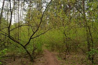 Undergrowth from Acer negundo