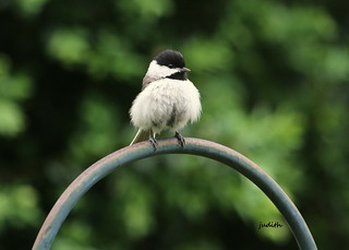 all puffed up