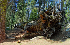 A Giant Fell Here, Sequoia National Park 5-18 (inkknife_2000 (9 million views)) Tags: sequoianationalpark giantsequoia bigtrees forest skyandclouds youngtrees dgrahamphoto california americasnationalparks redbark amazingtrees beautyofamerica peace beauty fallentree gianttree