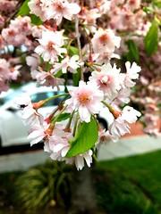 Long Island Cherry Blossoms II (joeclin) Tags: northamerica america unitedstates usa newyork ny longisland li nassaucounty oysterbay jericho outdoor color amateur 2010s iphoneography flowers cherryblossoms iphone appleiphone7 closeup car joelin joeclin