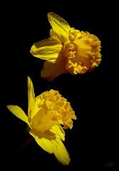 flight of the Narcissus (milomingo) Tags: flower plant bloom petal yellow gold black onblack closeup garden mygarden daffodil narcissus bulb spring bold vivid bright light dark contrast floral