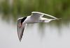 Tern in flight (Chalto!) Tags: keyhaven bird hampshire newforest pennington seabird tern commontern flight flying
