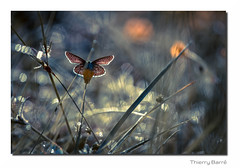 Pap Q6 Bd Sg Rd1 IMG_4172-4 (thierrybarre) Tags: butterfly papillon bokeh proxyphoto macrophoto macro fleur bleu ailes wings