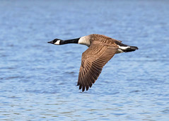 In Flight (Nigel B2010) Tags: bird goose canadian flight flying attenborough water lake wildlife nature countryside canon 80d sigma 100400f563 spring may nottinghamshire feathers detail