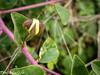 Caper Plant (tinlight7) Tags: caper plant bush shrub turkey tarsus mediterranean bud
