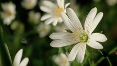 Forestflower (trineiversen) Tags: macroflower macro hvidblomst skovbund whiteflower flower forestflower