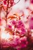 ILCE-7M2-09658-20180513-1925-HDR // Nikon Nikkor-SC Auto 55mm 1:1.2 (Otattemita) Tags: 55mmf12 florafauna nikonaid nikonnikkorscauto55mmf12 nikonnonai nikonpreai nipponkogaku fauna flora flower nature plant wildlife nikonnikkorscauto55mm112 sony sonyilce7m2 ilce7m2 55mm cnaturalbnatural ota