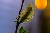 Eager, stretching (evakongshavn) Tags: macro macroshot macrounlimited makro makroaufnahmen closeup flower bud flowers floral flowerbud flora 7dwf
