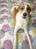 Asia [day 155] (gerlos) Tags: companiondog flooring dogbreedgroup dogbreed doglikemammal dog anyvision 365project englishfoxhound snout 365 labels