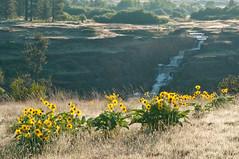 Balsamroot and Falls (jamesdelbertanderson) Tags: hogcanyonfalls fishtraprecreationarea spokane washington waterfall balsamroot wildflowers spring balsamorhiza