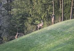 White tail doe (a56jewell) Tags: a56jewell deer doe fawna may