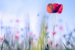 Poppies ♥ (sabrinasteiger1) Tags: mohnblume poppy poppies blumen blume flower kornblume may mai spiring frühling feld field natur nature nahaufnahme macro bokeh