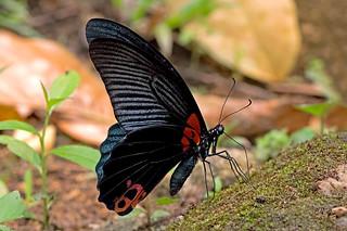 Papilio memnon - the Great Mormon (male)