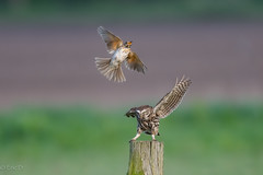 Dancing, No Thank You (eric-d at gmx.net) Tags: athenenoctua steinkauz littleowl singdrossel eric ngc singingthrush bird owl eule drossel vogel naturepicturede wildlife