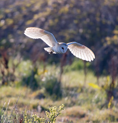 Barn Owl Hunting The Marsh (Steve (Hooky) Waddingham) Tags: bird barn country nature wild wildlife prey owl