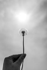 (CarolienCadoni..) Tags: sony sonyilcaa99m2 sal2470z 2470mmf28zassm dandelion sun sunlight hand bokeh dof blackandwhite monochroom